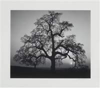 oak tree, sunset city sierra foothills, california [1962] by ansel adams